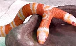 好奇特的双头蛇
