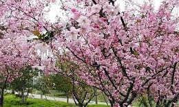 金匮公园樱季
